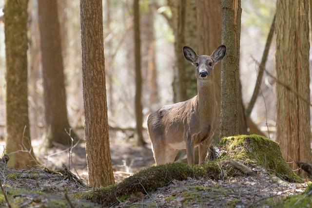 Cerf de Virginie // White-tailed Deer