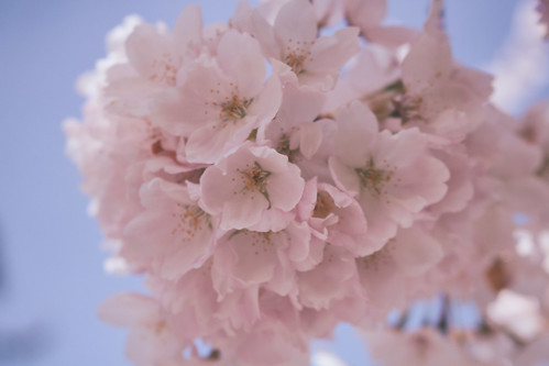 cherry blossom cotton candy