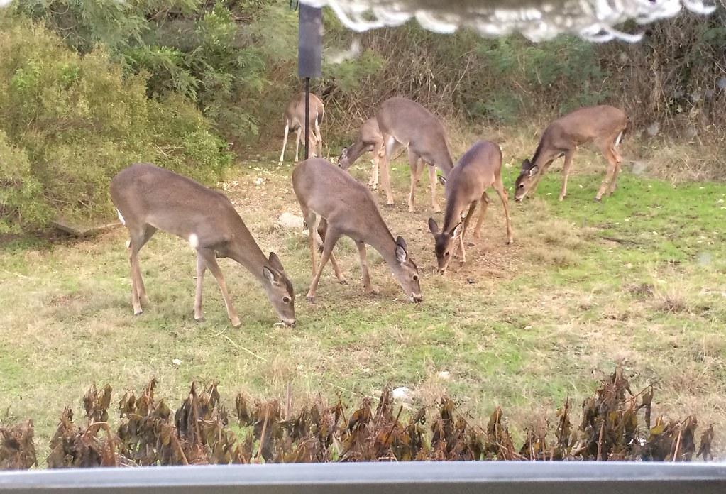 7 deer in the side yard, December 2016, Rio Medina
