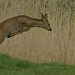 Jumping roe deer