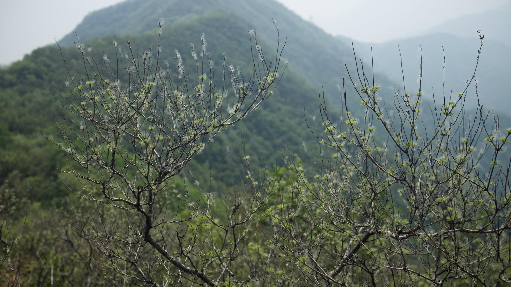 Fenghuangling_Shrub