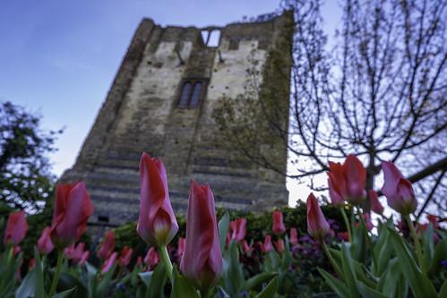guildford castle guildfordcastle attraction building spring sky blue colours tulip tulips pink flower flowers tree beautiful skyascanvas skyasthecanvas bluesky landscape nopeople outside outdoors surrey