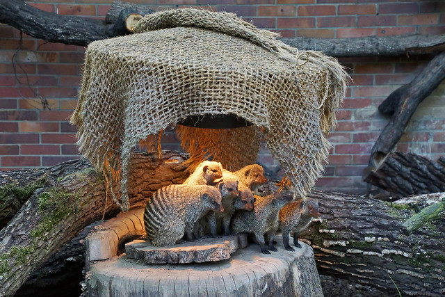Zebramanguste - Banded mongoose