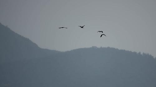 bif bird black hills ibis northbengal siliguri westbengal india