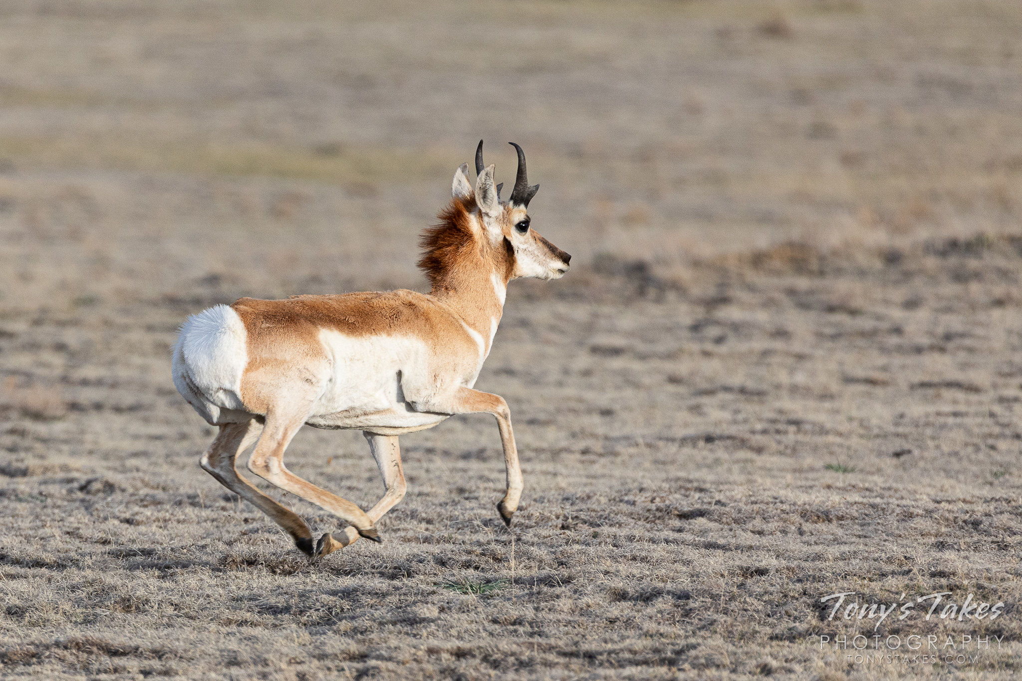 A pronghorn buck takes off running across the Pawnee National Grasslands. (© Tony's Takes)