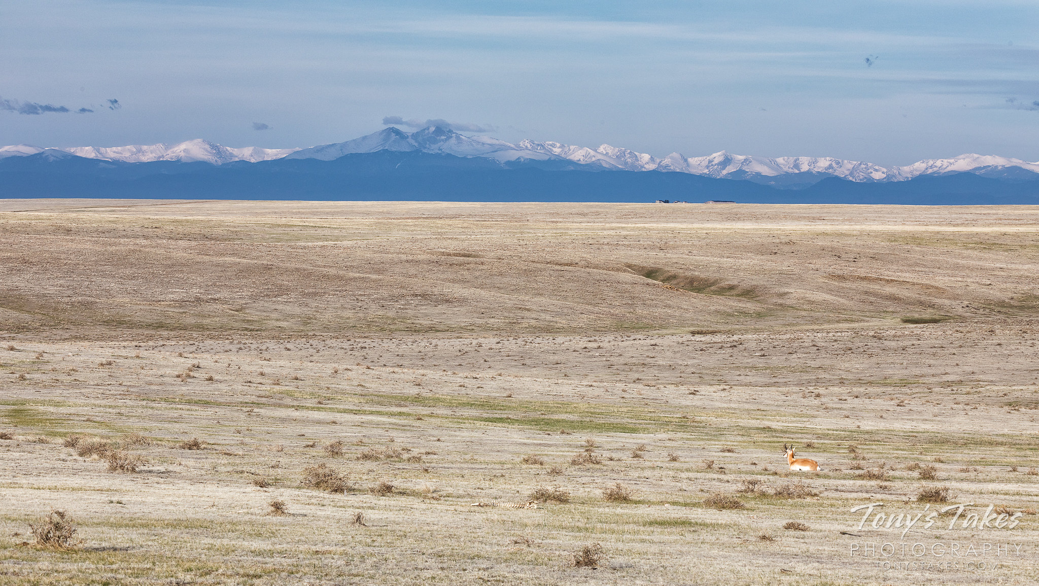A pronghorn buck lies on the plains while in the distance, the Rocky Mountains tower. (© Tony's Takes)