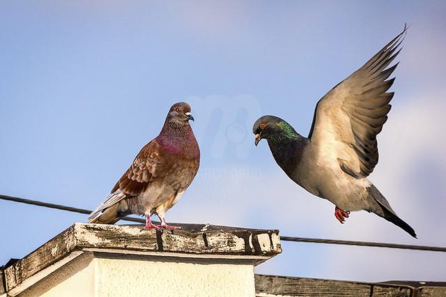 Pombo-Doméstico | Rock Pigeon | Columba livia