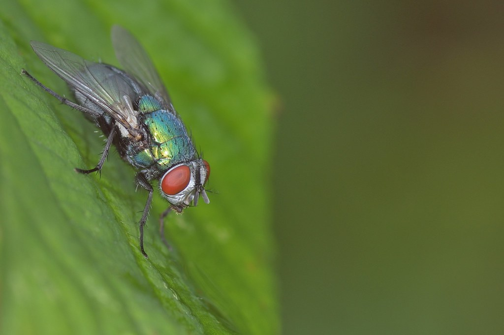 Green Bottle Fly - Lucillia serial