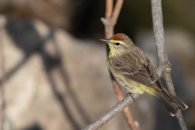 Palm Warbler with his shadow