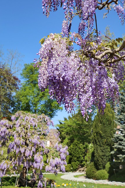 blooming wisteria in the botanical garden of Leuven