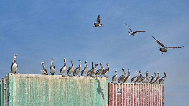 Waiting for Easy Prey - Pelicans in the Fishing Port of Valparaiso, Chile