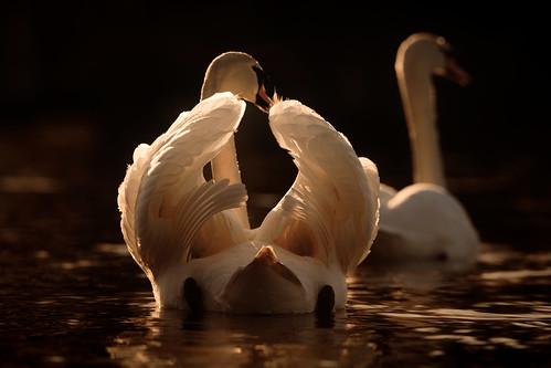 swan romance love spring norfolk broads bird wildlife jonathan casey photography sunset nikon d850 400mm f28 vr