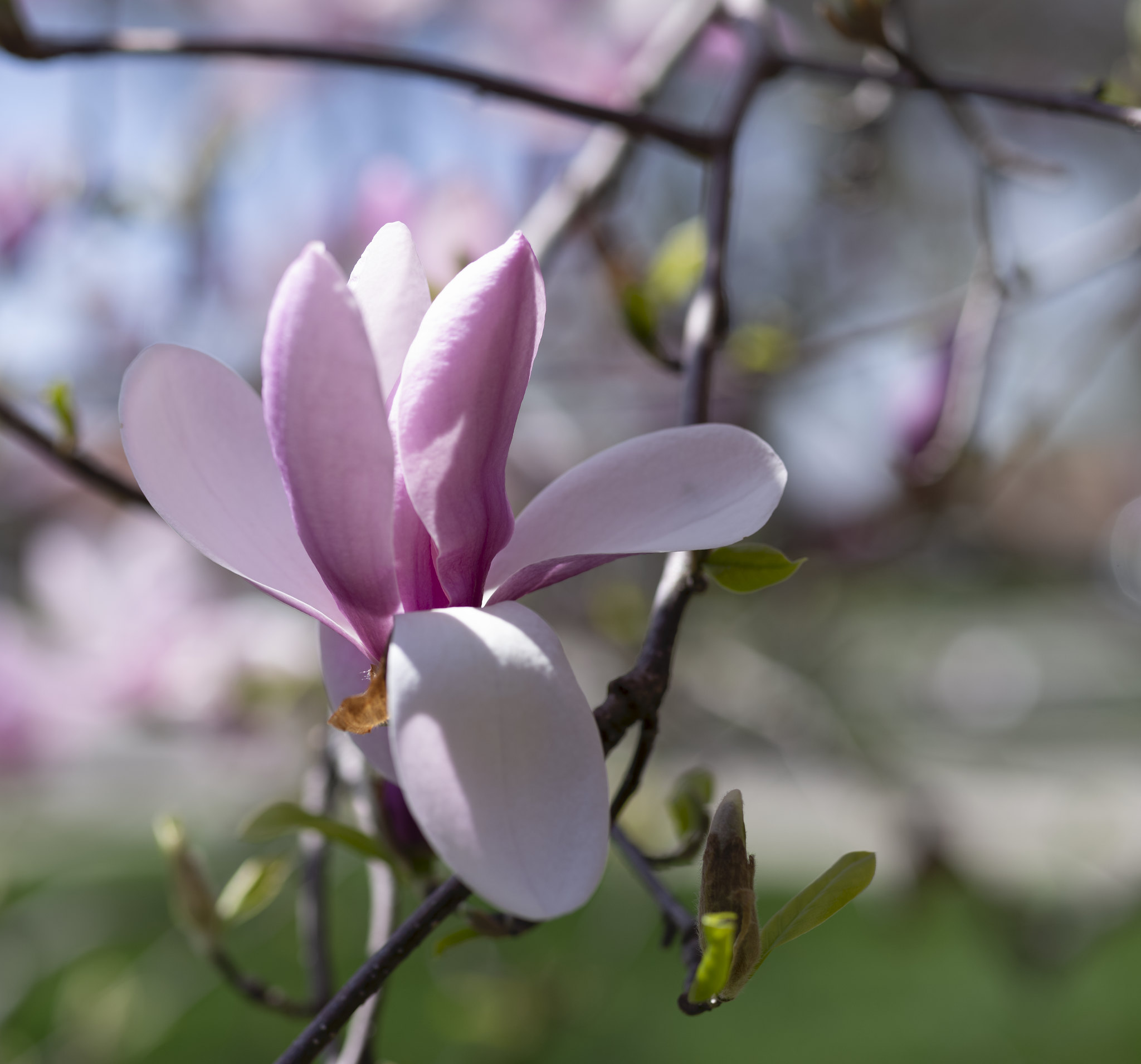 magnolia in the sun
