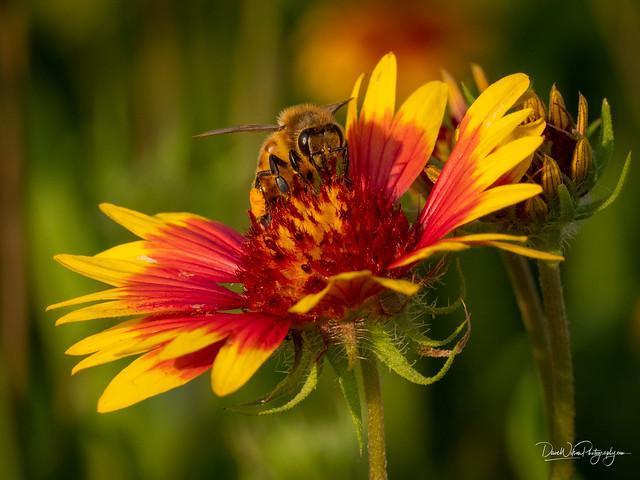 Honey Bee on Indian Blanket