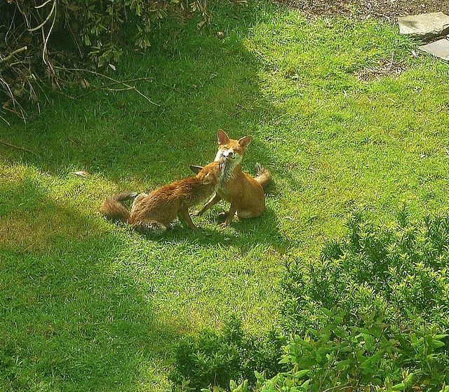 a fox couple in my garden