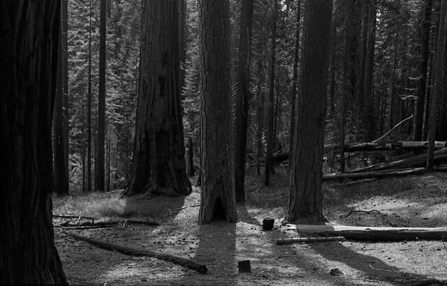 Pine and cedar.