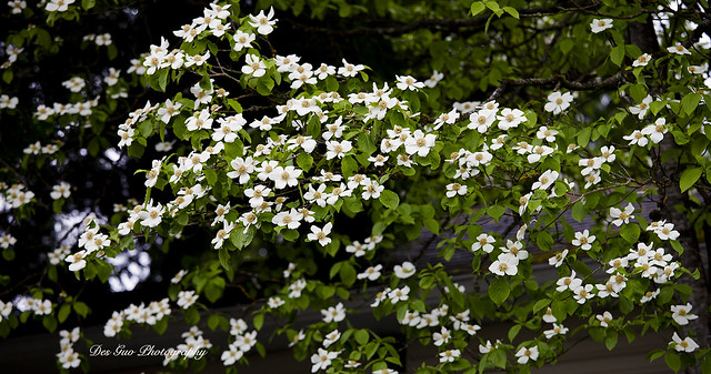 Pacific Dogwood Flowers