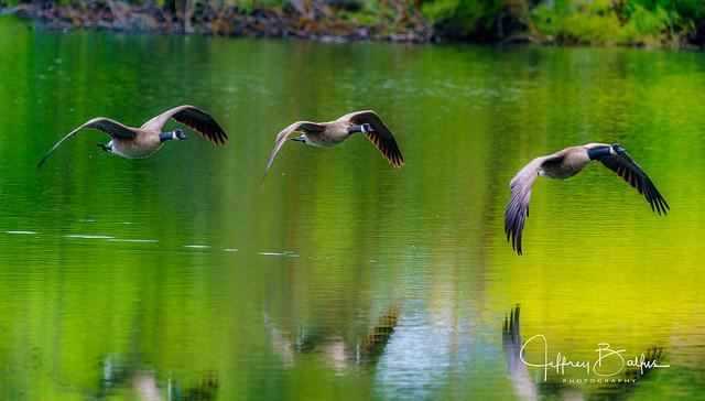 Canadian Geese in Flight-940012