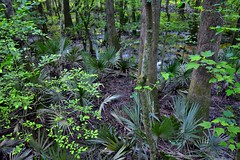 The Undergrowth and Life in the Congaree Floodplain (Congaree National Park)