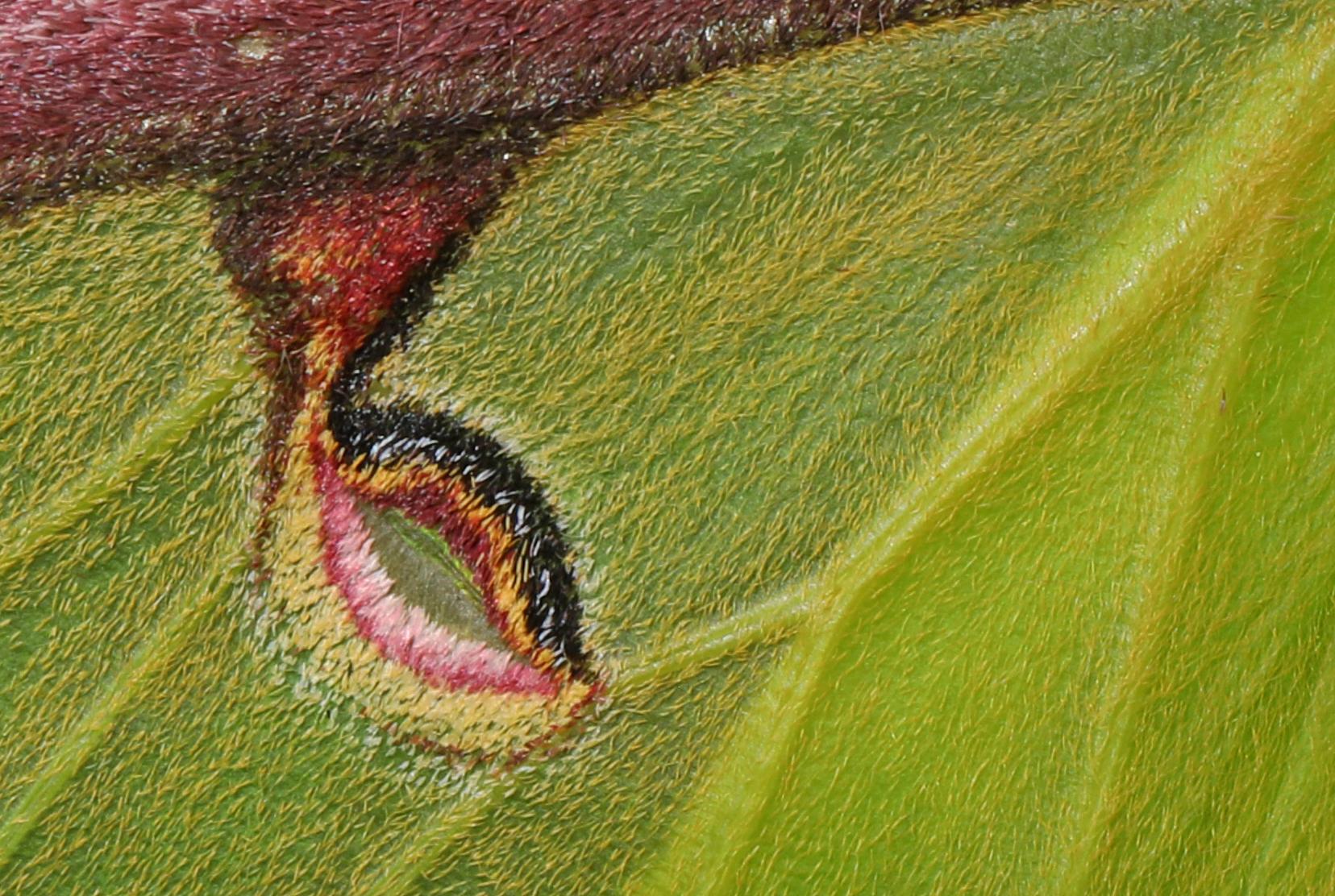 Luna Moth wing detail - Actias luna, Merrimac Farm Wildlife Management Area, Aden, Virginia