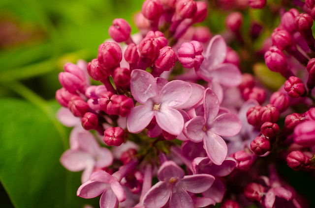 Budding Lilacs