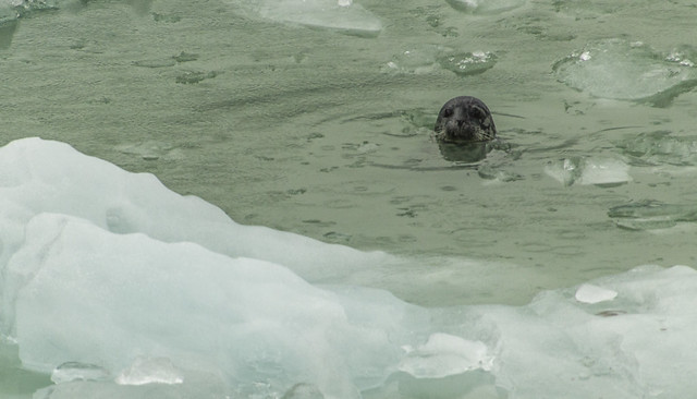 Seal - Tracy Arm Fjord, Alaska, USA