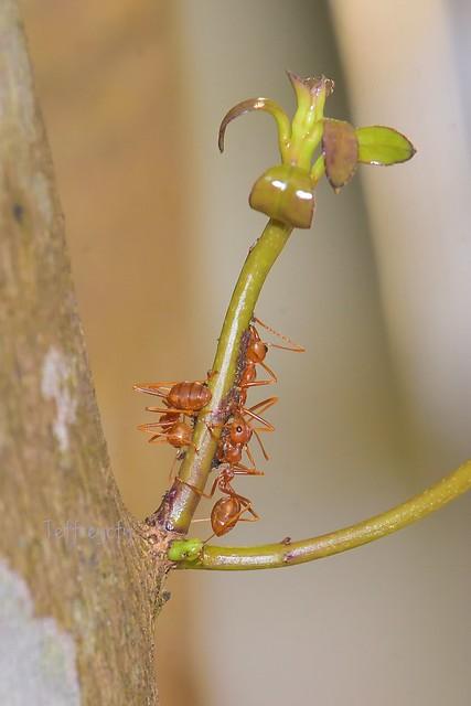 黃猄蟻, Weaver Ant, Oecophylla smaragdina,