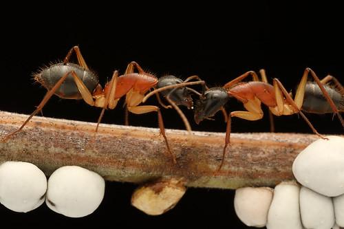 Black-headed Sugar Ant (Camponotus nigriceps)
