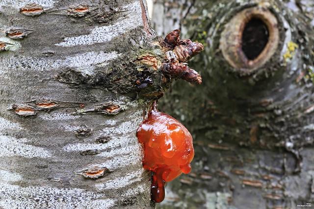 Covid 19 du cerisier (gros pif)