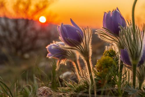 2020 70d budapest canon hungary kovar magyarorszag ujlakihegy colours flower naplemente nature outdoor outdoors outside spring sundown sunset tavasz termeszet virag 250v10f