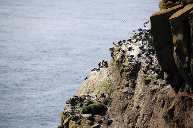 Puffins on Mykines
