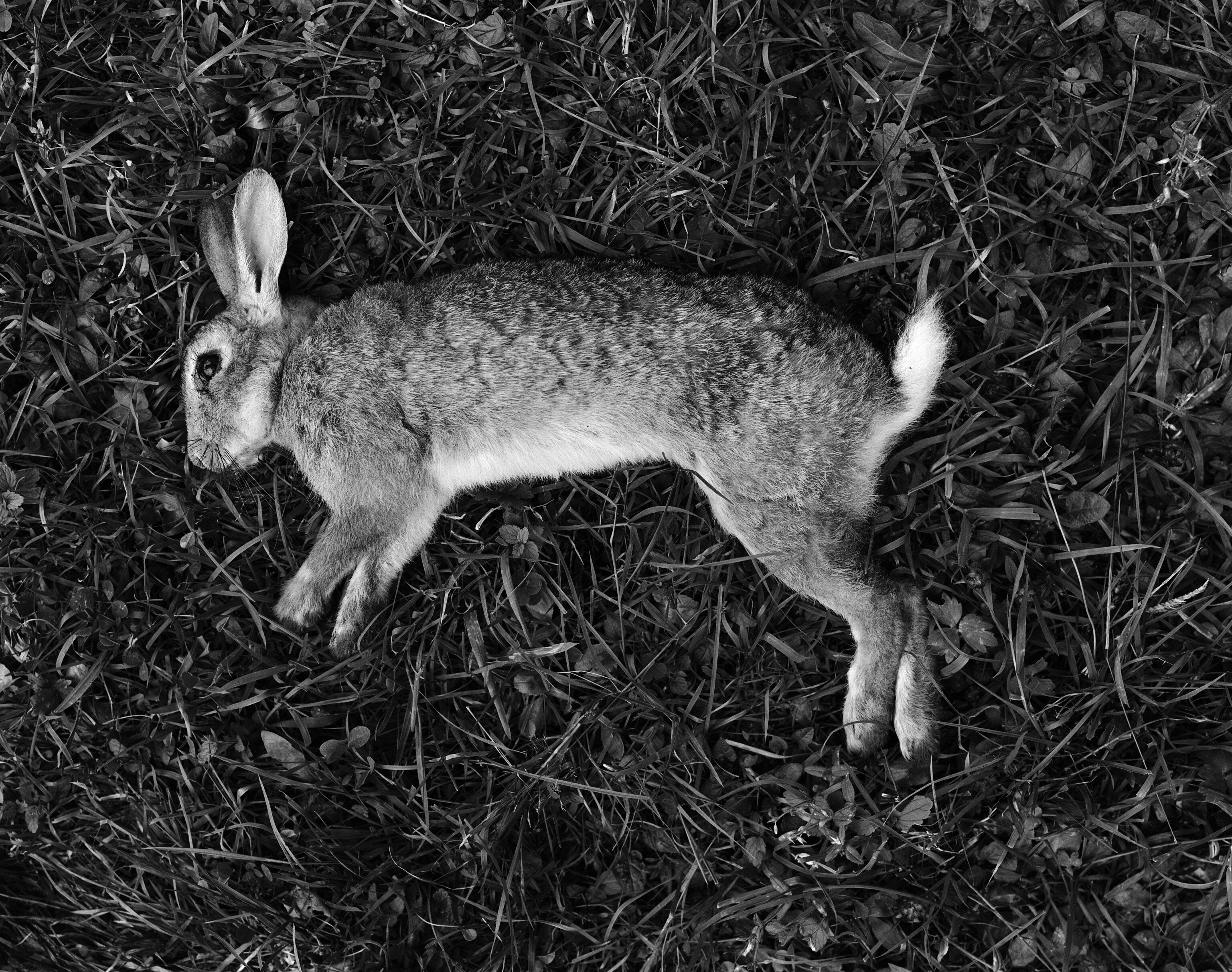 Killed Rabbit