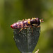 Hoverfly after a rainy day