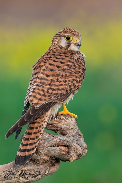 Cernícalo vulgar. (Falco tinnunculus)
