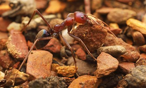 Meat Ant (Iridomyrmex pupureus)