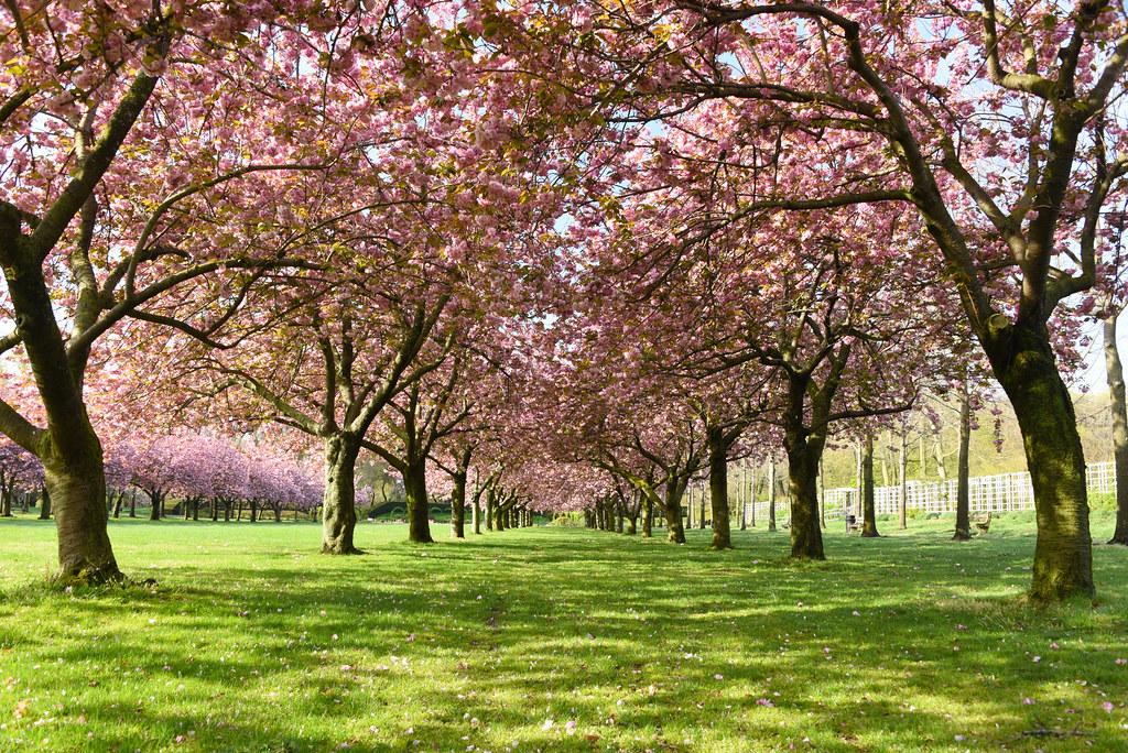 Cherry Lane West in Bloom | Steven Severinghaus | Flickr