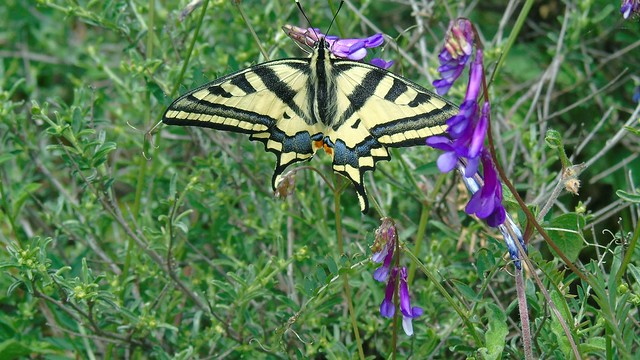 2_Papilio machaon