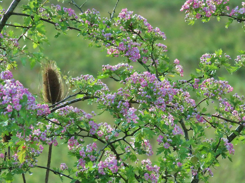 Flowering bush near Morgan Lake