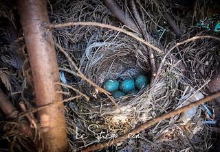 Un nido di merli sulla siepe di casa