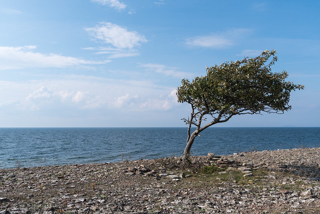 Ölandskust med vindpinat träd