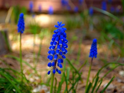 eechillington nikond7500 viewnxi flower nature patterns grapehyacinth