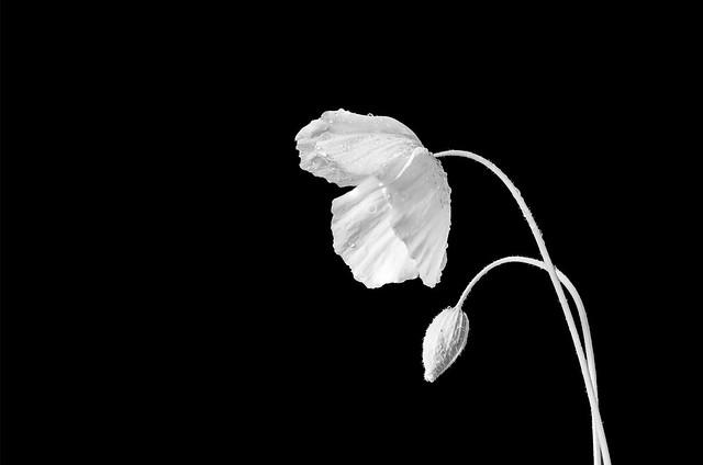 Poppy on a Black Background