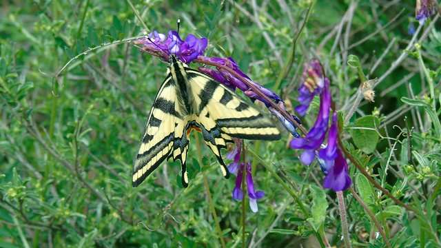 3_Papilio machaon