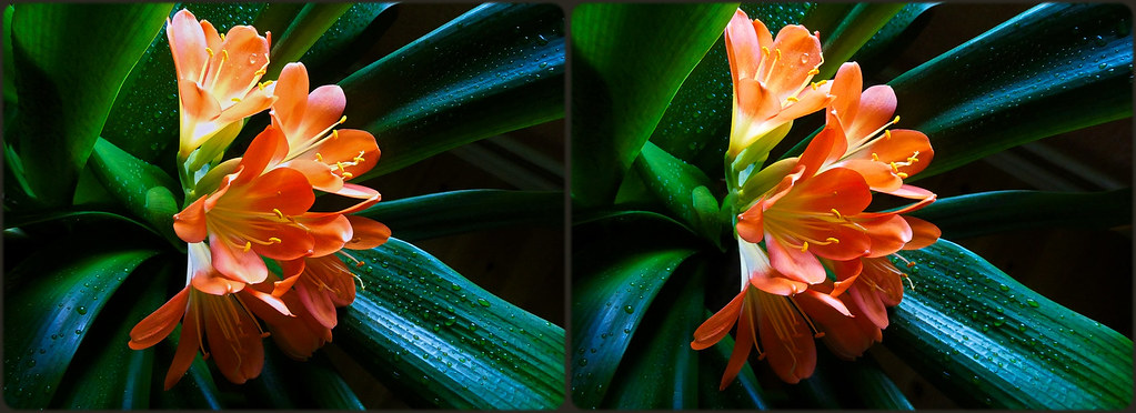 ... Clivia miniata ... she blooms again! ...