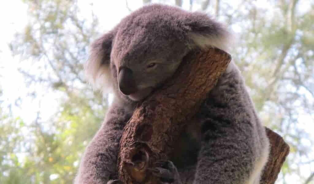 Les koalas lèchent les arbres pour obtenir de l'eau