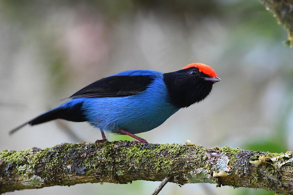 Swallow-tailed Manakin // Tangará