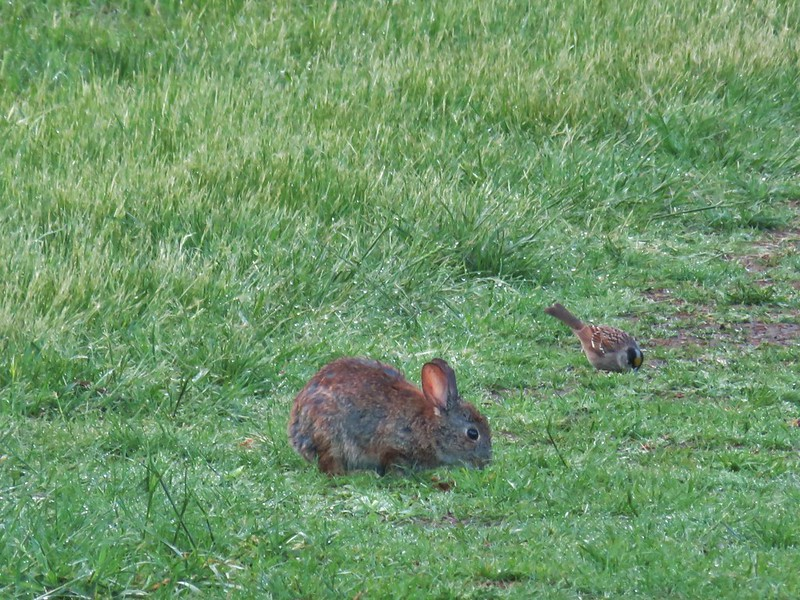 Rabbit and an golden-crowned sparrow