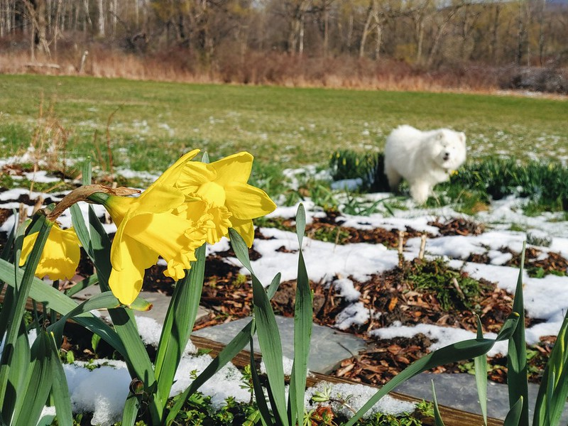 Dog + Yellow Daffodils