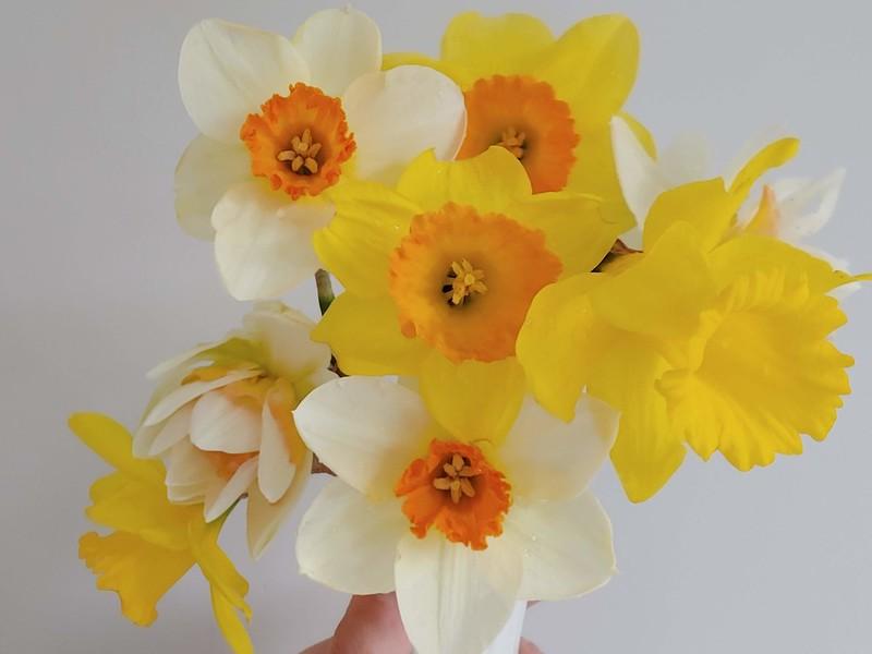 Daffodils, Part 1