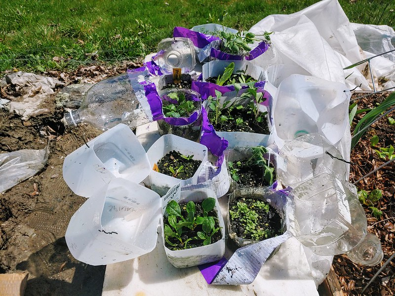 Winter Sown Seedlings